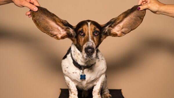 Un perro de orejas largas - Sputnik Mundo
