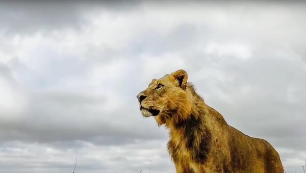 Un león - Sputnik Mundo