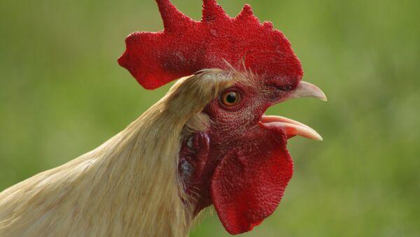Un gallo (imagen referencial) - Sputnik Mundo