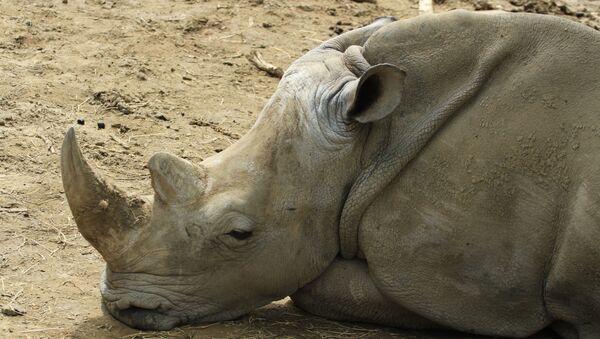 Un rinoceronte (archivo) - Sputnik Mundo