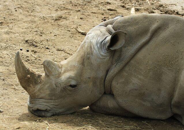 Un rinoceronte (archivo)