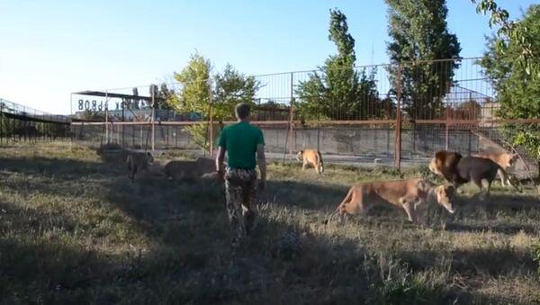 No me importa que seas un león: el dueño de un safari adiestra a mamíferos con… una zapatilla - Sputnik Mundo