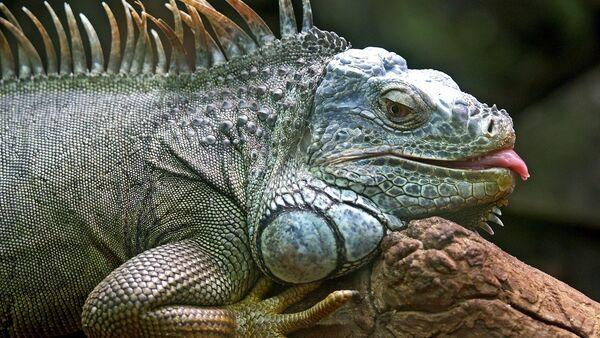 Un lagarto, imagen referencial - Sputnik Mundo