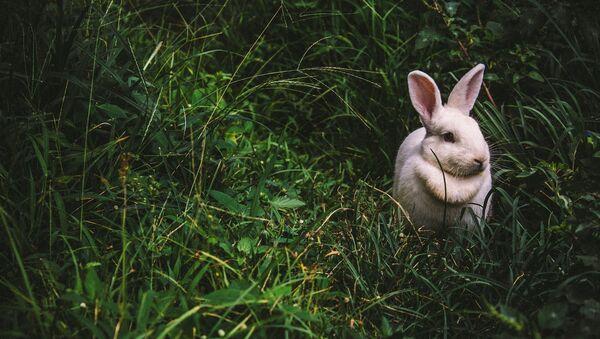 Un conejo (imagen referencial) - Sputnik Mundo