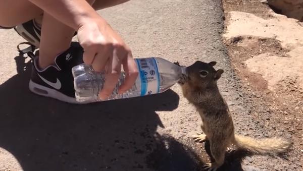 Una ardilla bebe agua - Sputnik Mundo