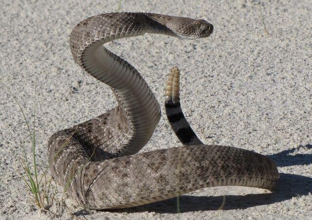 Una serpiente cascabel