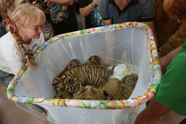 Тигрята в крымском сафари-парке Тайган - Sputnik Mundo