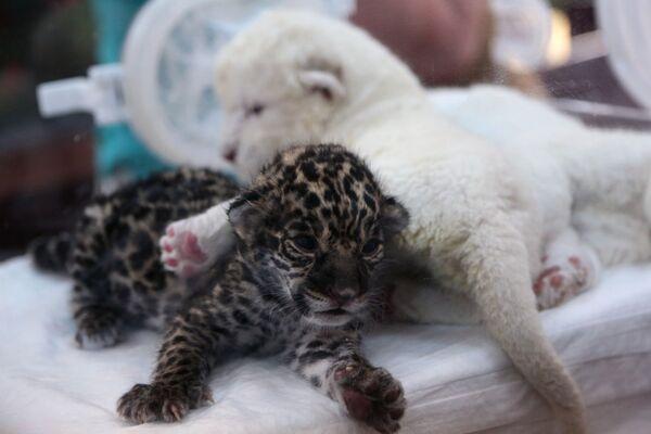 Новорожденные белый львенок и детеныш ягуара в крымском сафари-парке Тайган - Sputnik Mundo