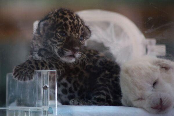 Новорожденные детеныш ягуара и белый львенок в крымском сафари-парке Тайган - Sputnik Mundo