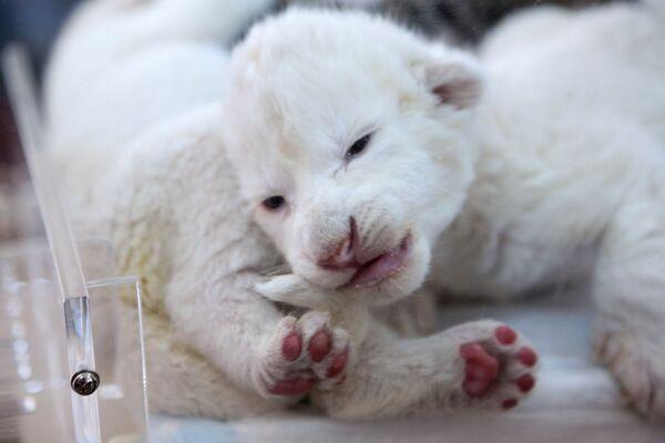 Новорожденные белые львята в крымском сафари-парке Тайган - Sputnik Mundo