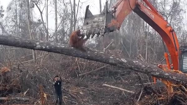 Un orangután se enfrenta a una excavadora en una dramática lucha - Sputnik Mundo