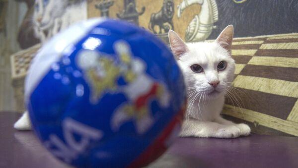 Aquiles, el gato-oráculo del Mundial de Rusia - Sputnik Mundo