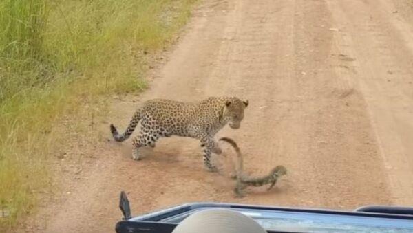 Lagarto abofetea a un leopardo - Sputnik Mundo