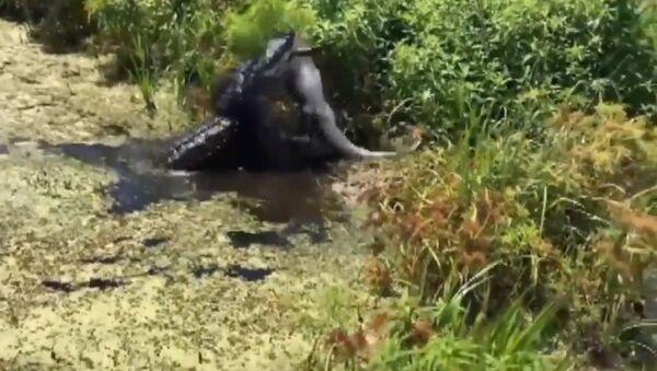 Un caimán ataca y devora a otro caimán - Sputnik Mundo