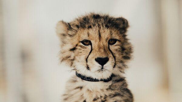 Una cria de leopardo - Sputnik Mundo