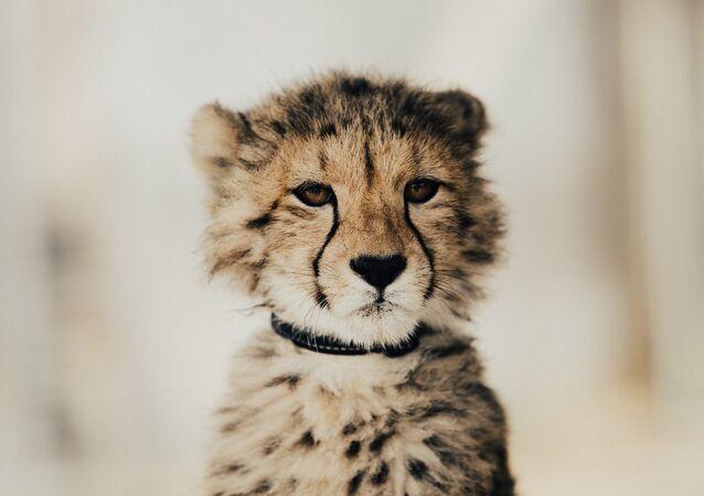 Una cria de leopardo