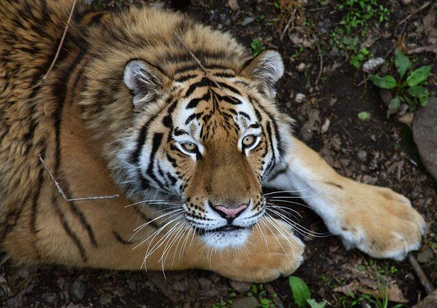 Un tigre de Amur en la zona rusa de Primorie