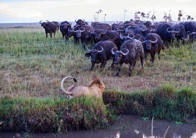 Un león mata a un búfalo y así es la venganza