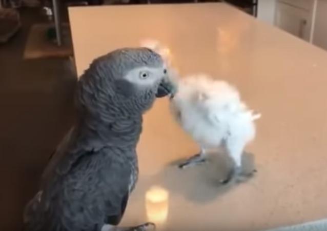 Este papagayo puede bailar y lo hace mejor que tú