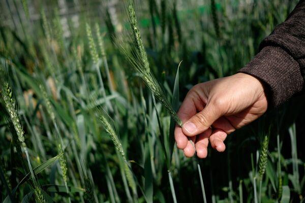 Sector agrícola inteligente: alimentar al mundo con el uso de nuevas tecnologías - Sputnik Mundo