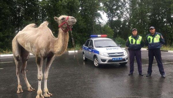 Un camello sale a la carretera en Rusia - Sputnik Mundo