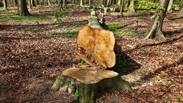 Un árbol cortado (imagen referencial) - Sputnik Mundo