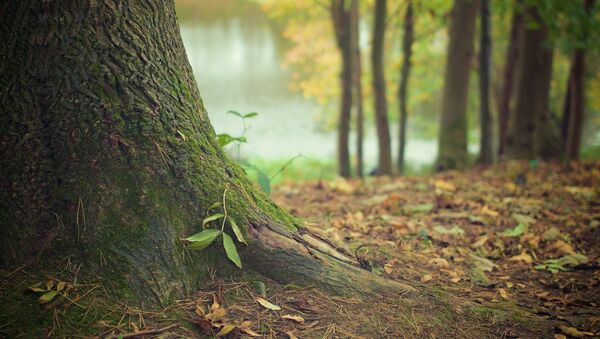 Un árbol (imagen referencial) - Sputnik Mundo