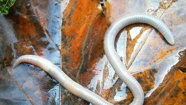 Un gusano, imagen referencial - Sputnik Mundo