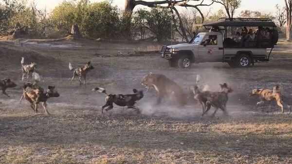 Instinto maternal: una leona protege a su cría de una jauría de perros salvajes - Sputnik Mundo