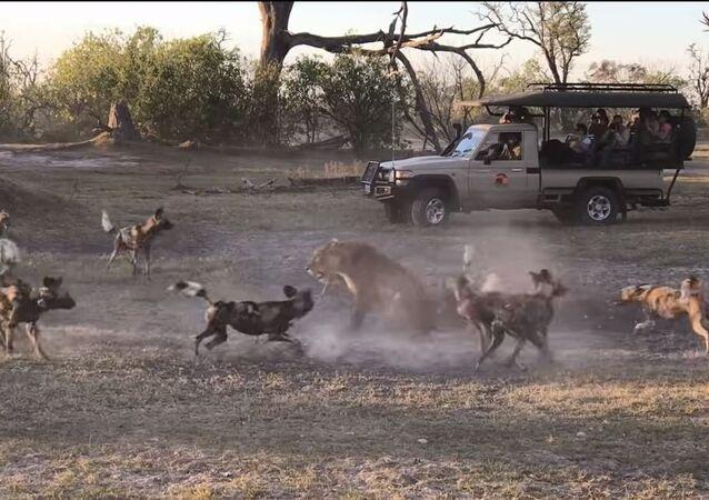 Instinto maternal: una leona protege a su cría de una jauría de perros salvajes