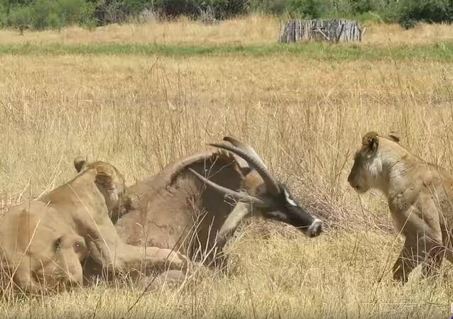 Un antílope se defiende de dos leonas hasta el último aliento