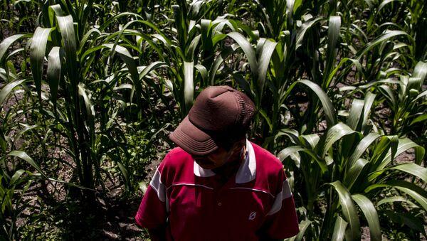Dionisio, campesino de Xochimilco, muestra los cultivos de maíz en la chinampa - Sputnik Mundo