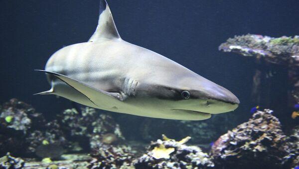 Tiburón - Sputnik Mundo