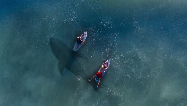 Un tiburón en el agua, imagen referencial - Sputnik Mundo