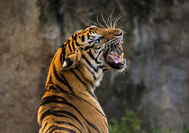 Un tigre (archivo)