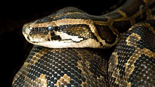 Una serpiente (imagen referencial) - Sputnik Mundo