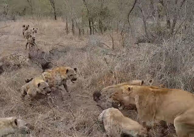 Fuertes imágenes: dos leonas devoran a un jabalí cuando aparecen visitantes inesperados