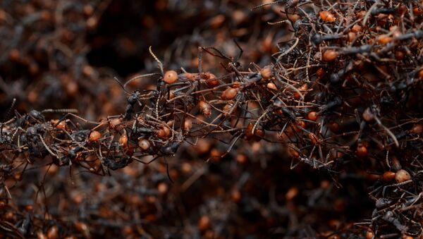 Hormigas guerreras (archivo) - Sputnik Mundo