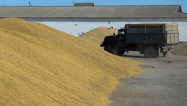 La cosecha de trigo en la región de Novosibirsk - Sputnik Mundo
