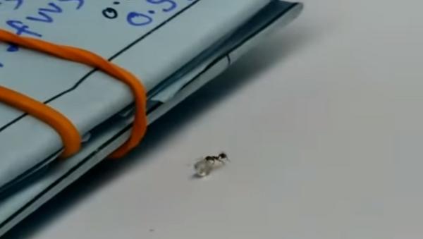 Cazan 'in fraganti' a una hormiga robando un diamante - Sputnik Mundo