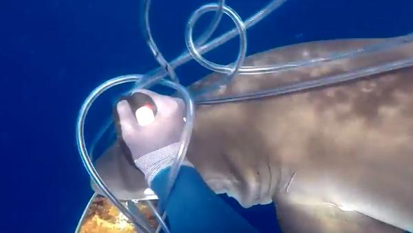 Ni Indiana Jones: un buzo lucha con un machete contra dos tiburones por un atún - Sputnik Mundo
