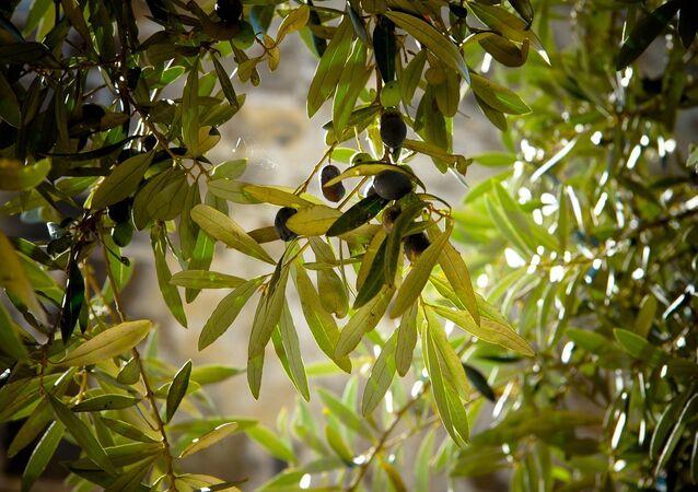 Un olivo (imagen referencial)