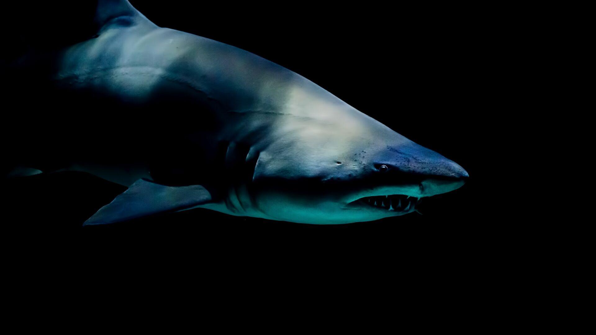 Un tiburón, imagen referencial - Sputnik Mundo, 1920, 09.08.2021