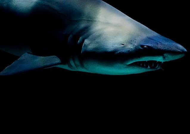 Un tiburón, imagen referencial