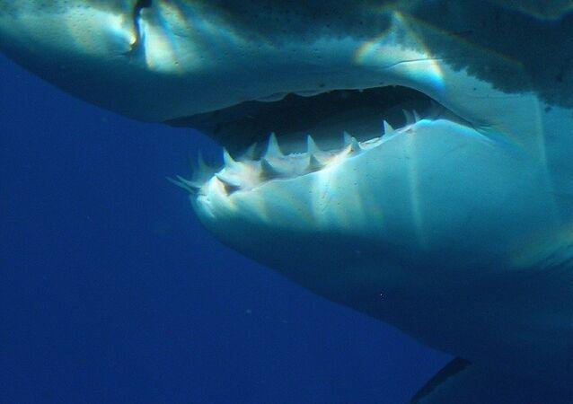 Un tiburón blanco (imagen referencial)