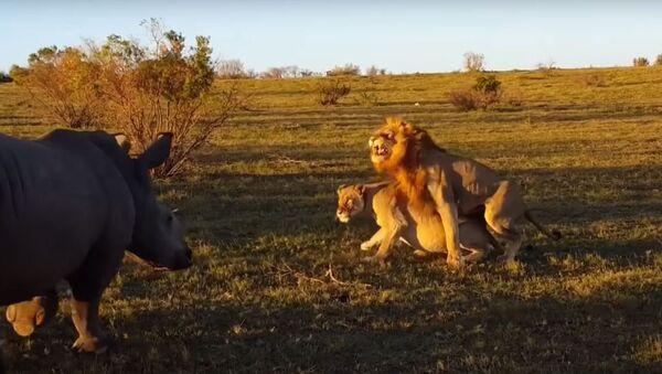 Un rinoceronte interrumpe el coito de los leones - Sputnik Mundo