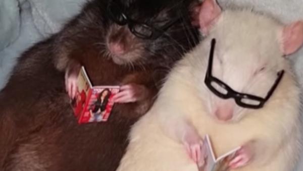 Estas ratas son más inteligentes que muchos humanos - Sputnik Mundo