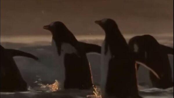 Pinguinos cazadores de langostillas - Sputnik Mundo