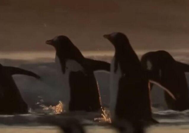Pinguinos cazadores de langostillas