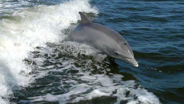Un delfín, foto de archivo - Sputnik Mundo